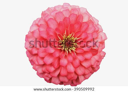 Pink Zinnia  isolated on white background - stock photo