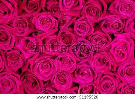 pinkrose background ,natural texture - stock photo
