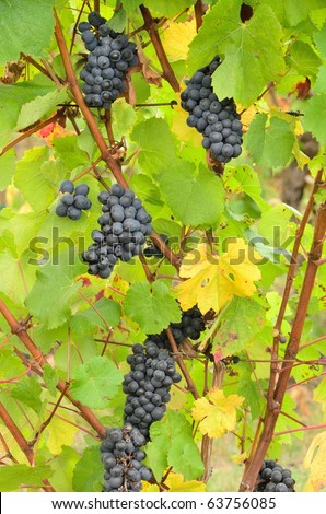 Pinot Gris wine grapes waiting to be harvested during late October at a Umpqua Valley Winery near Roseburg Oregon, - stock photo