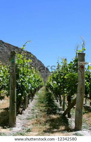 Pinot noir grapes in Queenstown, New Zealand - stock photo