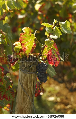 Pinot noir in Morey Saint Denis - stock photo