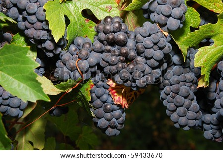 Pinot Noir Pom grapes waiting to be picked at the Henry Estate Winery located in Umpqua Oregon just NW from Roseburg in the Umpqua Valley Wine Region. - stock photo