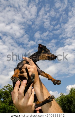 pinscher nano with sky and claud - stock photo