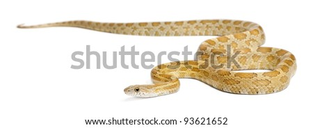 Pinstriped albino corn snake, Pantherophis guttatus, in front of white background - stock photo