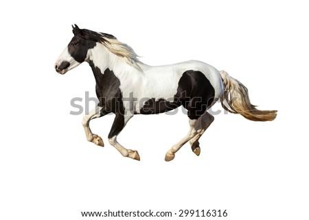 Pinto horse on white background. - stock photo