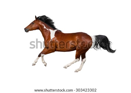 Pinto horse run gallop on white background