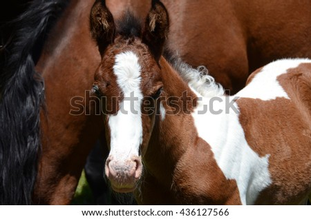 Pinto newborn colt next to his mother
