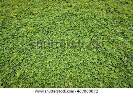 Pinto peanut leaf background