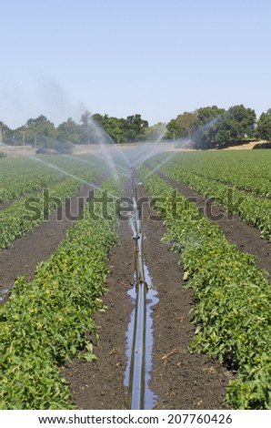 Pipe irrigation runs on a field of tomato plants n the Northern California valley - stock photo