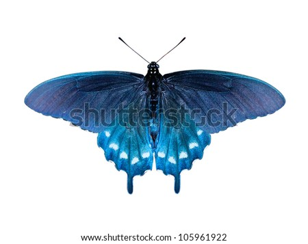Pipevine Swallowtail Butterfly (Battus philenor) - stock photo