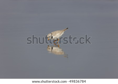 Piping Plover (Charadrius melodus), female in the water - stock photo