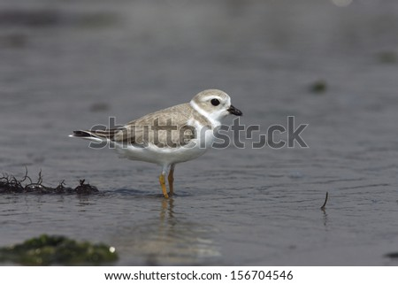 Piping plover, Charadrius melodus, single bird standing by water, New York, USA, summer             - stock photo