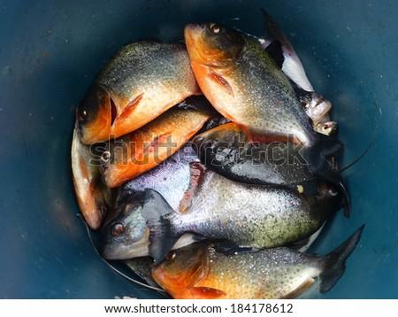 Piranha Caju (Pygocentrus natterery) and Black Piranha (Serrasalmus rhombeus) - stock photo