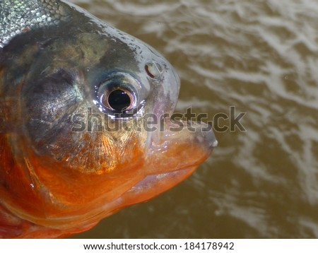 Piranha Caju (Pygocentrus natterery) in the tributary of the Rio Negro, Amayonas, Brazil - stock photo