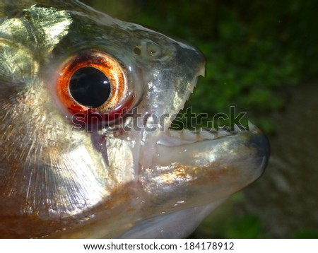 Piranha Caju (Pygocentrus natterery) in the tributary of the Rio Negro, Amazonas, Brazil - stock photo