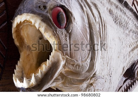 Piranha fish close up with mouth wide open - stock photo