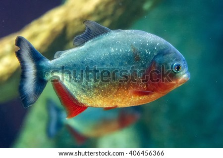 piranha fish underwater  close up portrait - stock photo