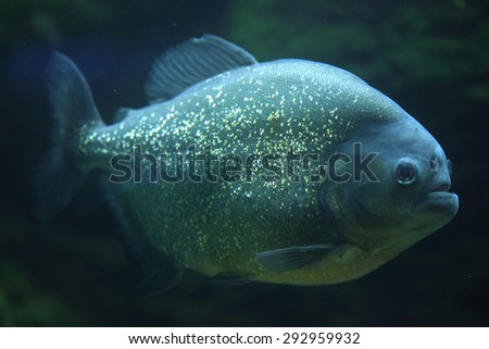 Piranha (Pygocentrus piraya), also known as the man-eating piranha. Wildlife animal.