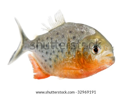 Piranha - Serrasalmus nattereri in front of a white background - stock photo