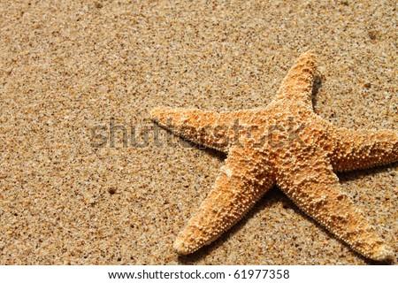 Pisaster ochraceous starfish on sand - stock photo