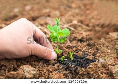 pisum sapling in the garden - stock photo