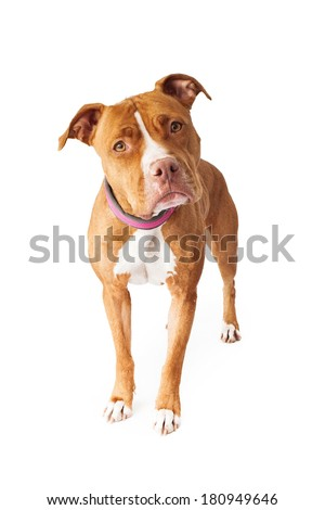Pit Bull dog standing and looking at the camera with head tilted - stock photo