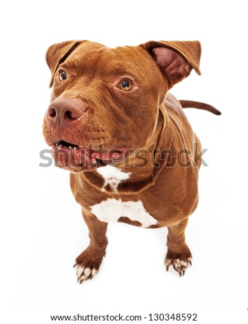 Pit Bull dog with a protective expression sitting against a white background - stock photo