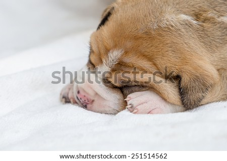 pit bull puppy dog sleeping in white fabric - stock photo