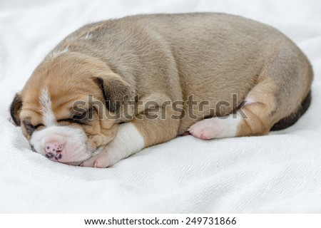 pit bull puppy dog sleeping on white fabric - stock photo