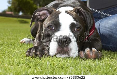Pit Bull puppy resting on green grass - stock photo