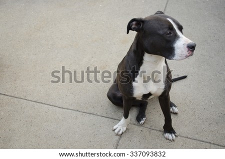Pit bull sitting on concrete