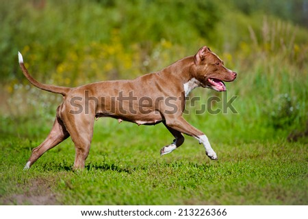pit bull terrier dog running - stock photo