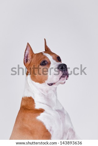 pit bull terrier on a white - stock photo
