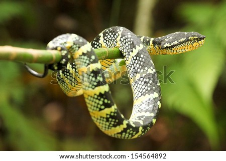 Pit Viper - stock photo