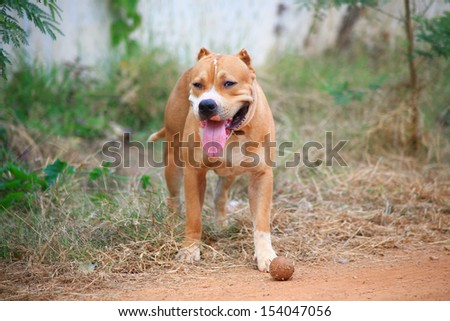 pitbull dog - stock photo