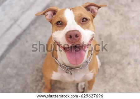 Pitbull pitbull dog alway smile voltagebd Image collections