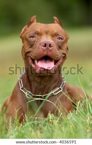 Pitbull dog portrait in green grass - stock photo