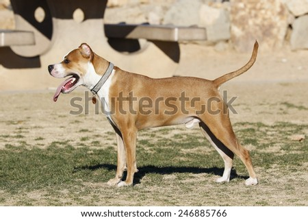 Pitbull dog posing at the dog park waiting for someone to come play - stock photo