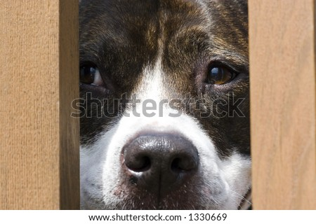 Pitbull looking through fence - stock photo