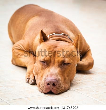 Pitbull portrait - stock photo