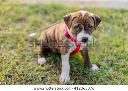 pitbull puppy dog sitting on lawn