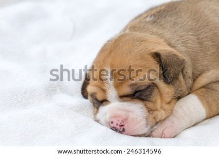 pitbull puppy dog sleeping on white fabric - stock photo