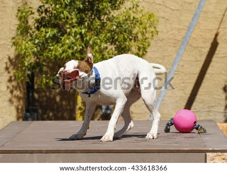 Pitbull shaking off water after swimming showing his teeth - stock photo