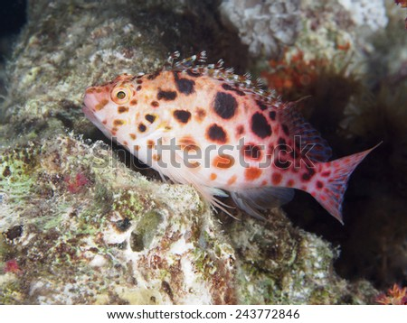 Pixie hawkfish in red sea - stock photo