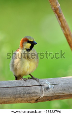 Plain backed Sparrow male bird sitting on bamboo in natural habitat from Thailand background