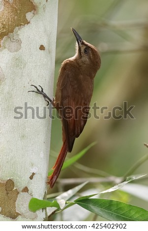 Plain-brown Woodcreeper (Dendrocincla fuliginosa) climbing up a tree as it forages for insects - Gamboa, Panama - stock photo