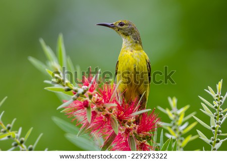 Plain Sunbird(Anthreptes simplex) with the flower in nature at Keangkrajarn  National Park, Thailand - stock photo