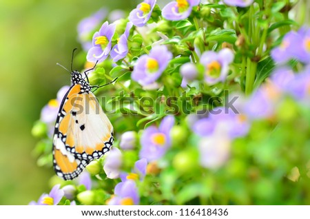 plain tiger butterfly on Persian violet