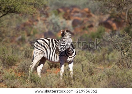 Plains or Burchell's Zebra (Equus quagga) standing in a blurred natural setting, South Africa - stock photo
