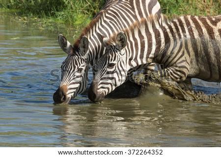 Plains, Zebra drinking from the Seronera River, Serengeti, Tanzania - stock photo